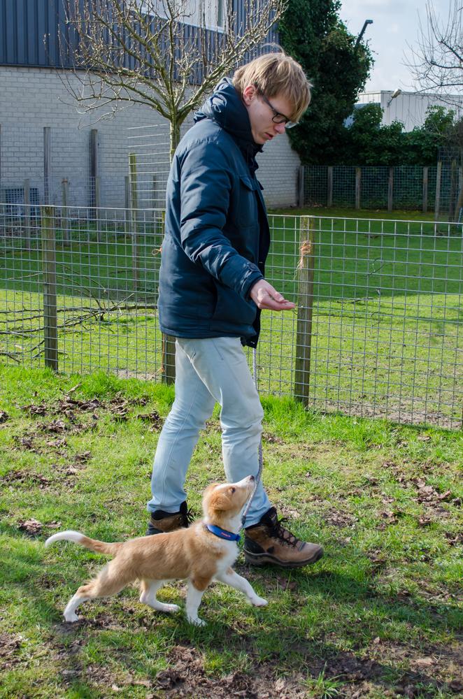 Sheltie x Duck Tolling doet een oefening voor tijdens de puppycursus.