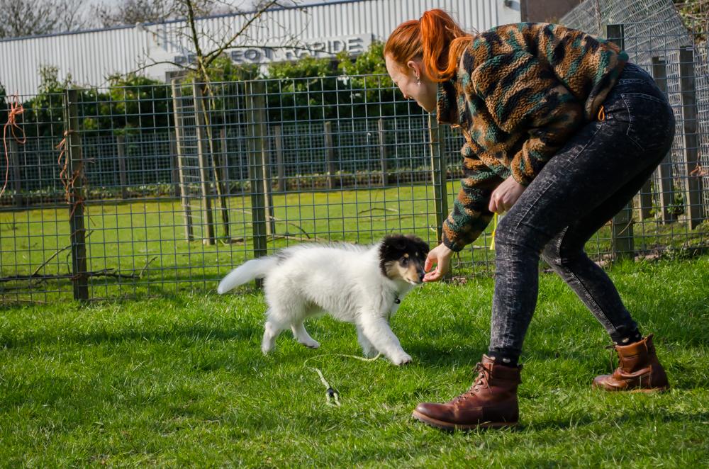 Amerikaanse Collie in actie tijdens de puppycursus.