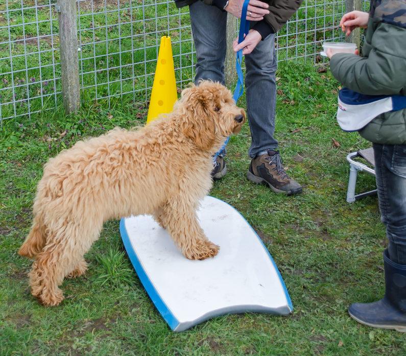 Labradoodle die twee pootjes op oefent. Twee pootjes op is een spel wat door alle honden gespeeld kan worden, jong, oud, groot, klein.