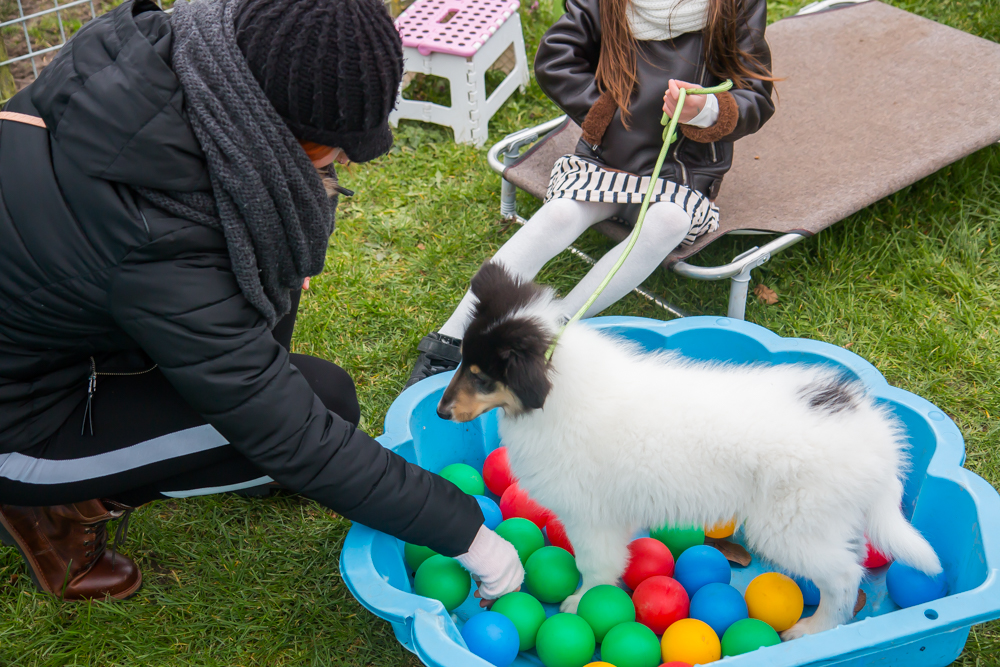 Amerikaanse Collie pup oefent in de herriedoos.