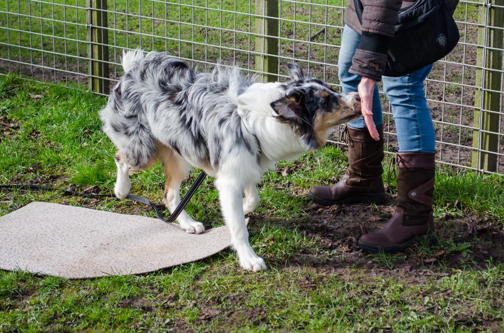 Australian Shepherd doet nose touch. Deze hond kon dit heel snel, dan kunnen wij de oefening moeilijker maken, zodat iedere hond uitdaging heeft op zijn eigen niveau.